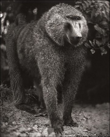 photo 001_by_Nick_Brandt.jpg Nick Brandt - Exposition Photo