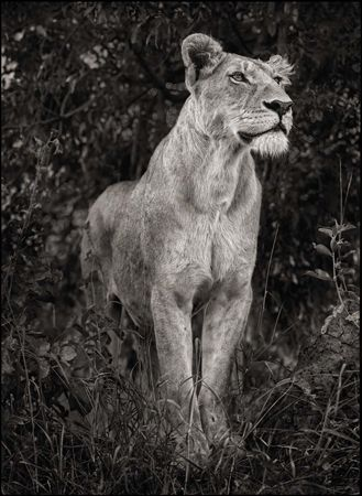 photo 018_by_Nick_Brandt.jpg Nick Brandt - Exposition Photo