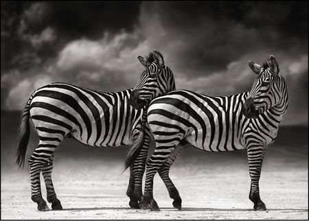 photo 036_by_Nick_Brandt.jpg Nick Brandt - Exposition Photo