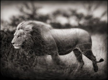 photo 071_by_Nick_Brandt.jpg Nick Brandt - Exposition Photo