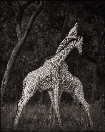 photo 092_by_Nick_Brandt.jpg Nick Brandt - Exposition Photo