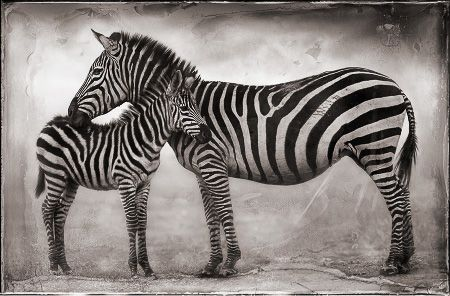 photo 111_by_Nick_Brandt.jpg Nick Brandt - Exposition Photo