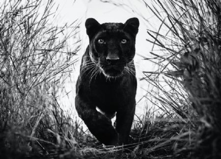 photo black-panther-0x546-c-default.png David Yarrow - photographies