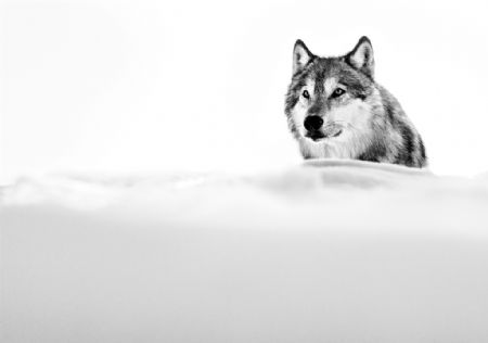 photo focused-wolf.jpg David Yarrow - photographies