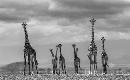 photo giraffe-city.jpg David Yarrow - photographies