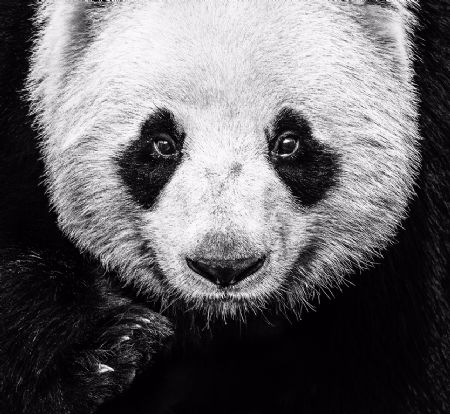 photo image-66---kung-fu-panda.jpg David Yarrow - photographies