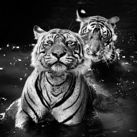 photo image-73---jungle-book-stories.jpg David Yarrow - photographies