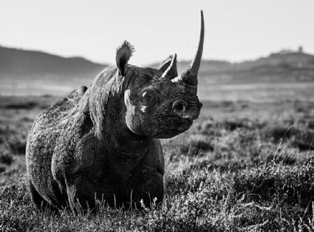 photo image-91---kifaru.jpg David Yarrow - photographies