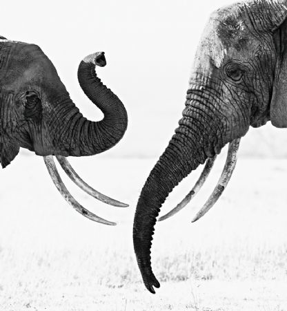 photo ivory-exchange.jpg David Yarrow - photographies