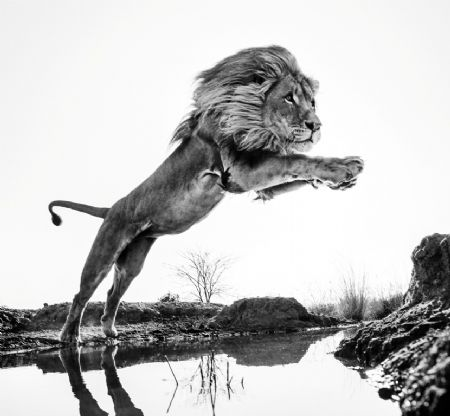 photo lion_king.jpg David Yarrow - photographies