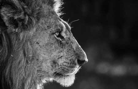 photo savute.jpeg David Yarrow - photographies
