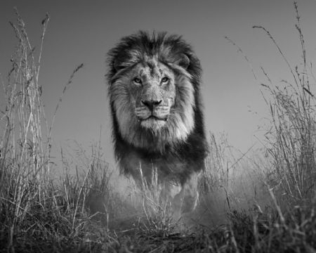 photo the-king-and-i.jpg David Yarrow - photographies