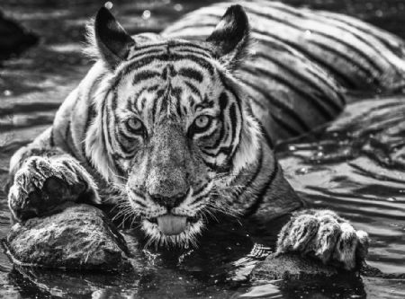photo the-queen-of-ranthambore.jpg David Yarrow - photographies